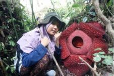 Dua Bunga Rafflesia Mekar di Hutan Danau Maninjau