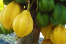 Carica alias Pepaya Dieng, Flora Identitas Wonosobo