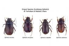 Empat Spesies Baru Kumbang Ditemukan di Maluku Utara