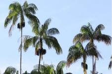 Nibung, Pohon Multiguna Maskot Provinsi Riau
