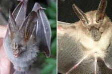 Cegah Penyebaran Virus Corona, Kelelawar Tidak Harus Dimusnahkan