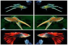 Manfaat Pelihara Ikan Hias