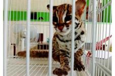 Warga Lubuk Basung Serahkan Kucing Hutan ke BKSDA Agam