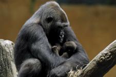 Terancam Punah, Bayi Gorila Lahir di New Orleans AS