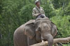 Suaka Gajah Myanmar Terancam COVID-19