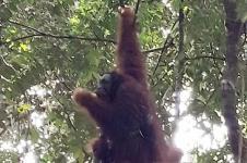 Orangutan 18 Tahun Dilepasliarkan di Bukit Tiga Puluh Riau