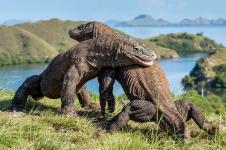 Komodo Gigit Tangan Balita Hingga Putus dapat Pengobatan