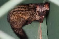 Alobi Lepasliarkan Empat Kukang, Dua Musang ke Hutan Bangka