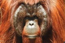 Tiga Orangutan Kalimantan Kembali ke Hutan Kehje Sewen