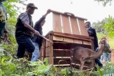 BKSDA Maluku Lepasliarkan 163 Satwa Liar