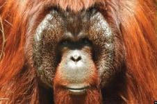 Sembilan Orangutan Pulang dari Malaysia Jalani Rehabilitasi