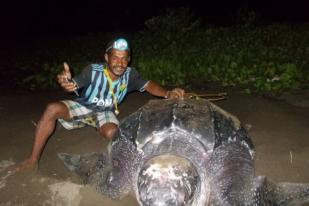 Penyu Raksasa Bertelor di Pantai Warebar, Raja Ampat