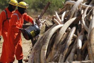 Kenya Bakar 105 Ton Gading Gajah Ilegal