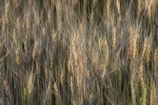 Biji-Bijian Biofortifikasi Dapat Bantu Tanggulangi Malnutrisi