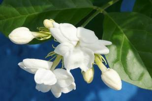 Bunga Melati, Terapi Aroma Menenangkan Saraf