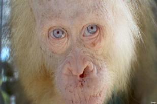 Orangutan Albino Perlu Hutan Khusus