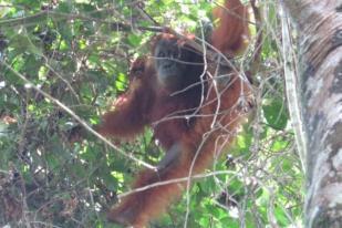 BBKSDA Sumut Lepasliarkan Orangutan ke TNGL Langkat