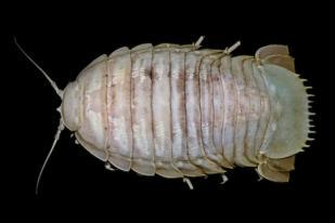 LIPI Temukan Jenis Baru Kecoak Laut Raksasa