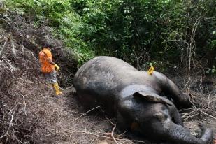 Seekor Gajah Liar Mati di Aceh Jaya