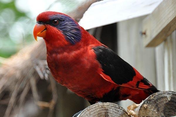 Satu Harapan Nuri Sayap Hitam Burung Asli Papua