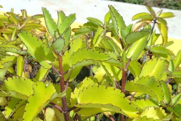 Satu Harapan Cocor Bebek The Miracle Leaf