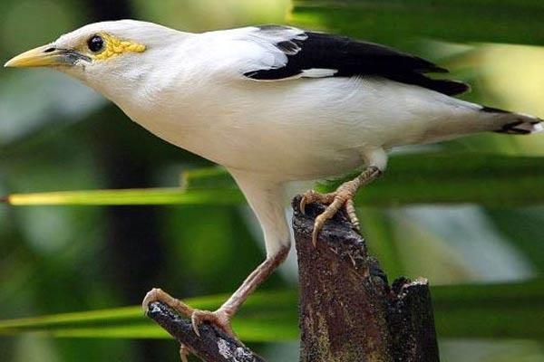 Satu Harapan Jalak Putih Burung Endemik Berstatus Kritis