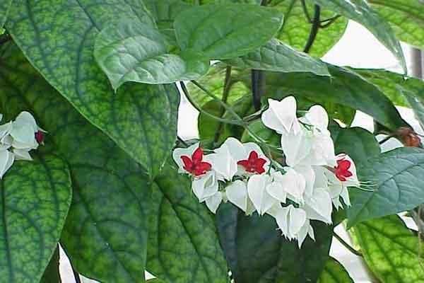 Satu Harapan Nona Makan Sirih Bunga Cantik Berkhasiat Obat