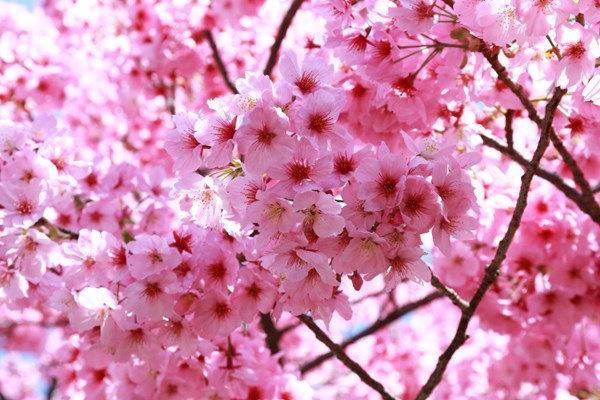 Satu Harapan Bunga Sakura Mekar Di Kebun Raya Cibodas