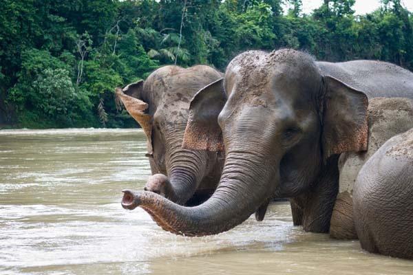 Satu Harapan Populasi Gajah Asia Bertambah Di Tiongkok