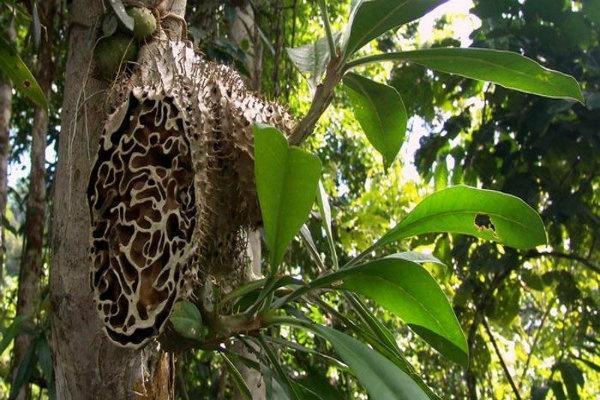Satu Harapan Sarang Semut Papua Jaga Stamina Tubuh
