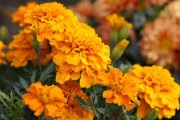 Marigold Kaya Antioksidan Satu Harapan
