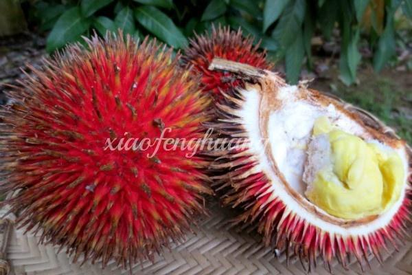 Satu Harapan Durian Lahung Buah Unggulan Kalimantan