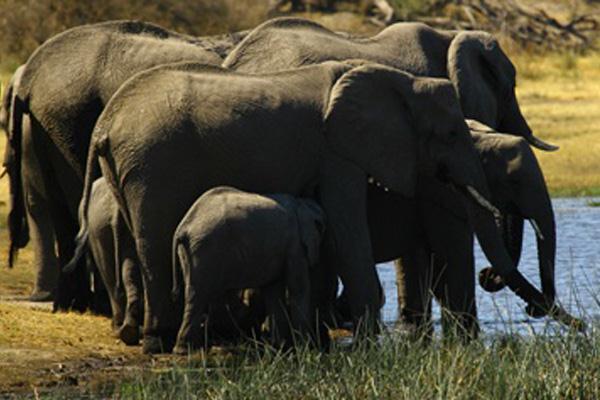 Empat Ton Gading Gajah Selendupan Disita Bea Cukai Kenya