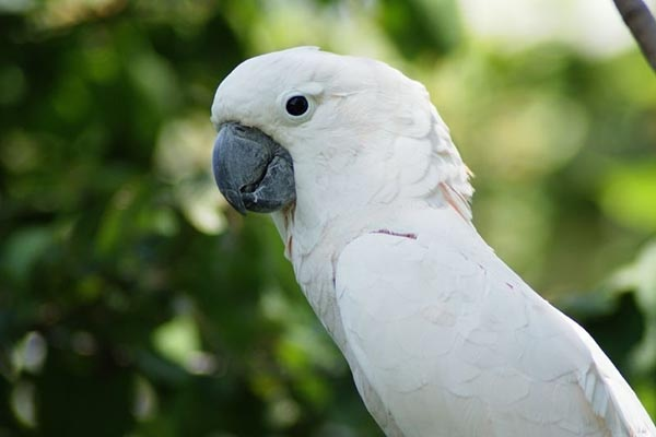 Burung nuri putih