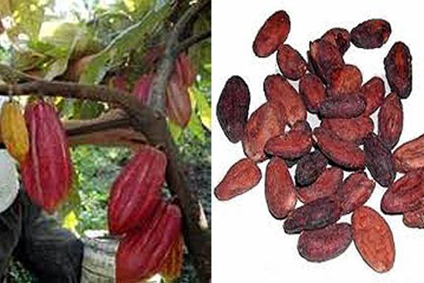 Kemendag Tetapkan Harga Pokok Ekspor Biji Kakao dan Kayu