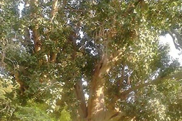 Pohon Ara Bersaudara dengan Beringin