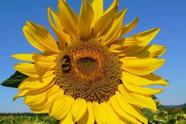 Satu Harapan Bunga Matahari Berkhasiat Antialergi